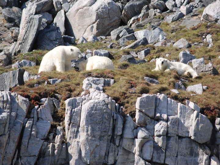 Polar bears on Monumental Island