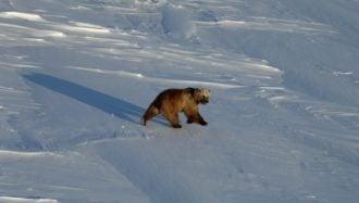 Perspectives locales sur l'hybridation des ours polaires et grizzly