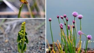 Plantes et lichens de l'Arctique canadien