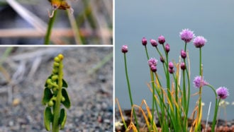 Plants and Lichens of the Canadian Arctic